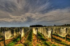 Free Vineyard Stock Image - 15197771