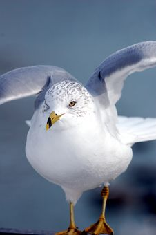 Free Ascending Seagull Royalty Free Stock Photography - 15197857