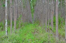 Free Eucaliptus Field Stock Image - 15198311