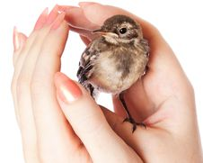 Free Nestling Of Bird (wagtail) On Hand Stock Image - 15198461
