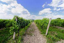 Free Vineyard Stock Images - 15198574