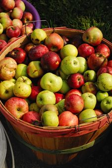 Free Bushel Of Fresh Ripe Apples Royalty Free Stock Photography - 15198877