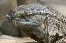 Free Black-throated Monitor 1 Royalty Free Stock Images - 15199029