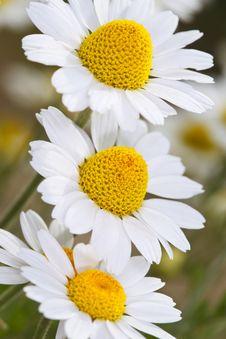 Three White Garden Chamomiles Stock Images