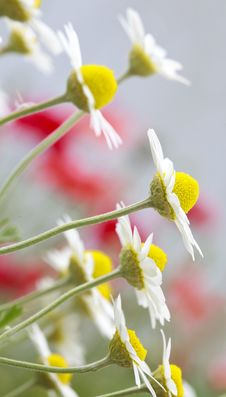 Free White And Yellow Daisies Royalty Free Stock Image - 15199216