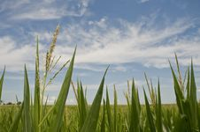 Free Corn Field Stock Photos - 15199493