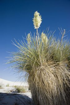 Free Booming Yucca At White Sands Royalty Free Stock Photos - 15199978