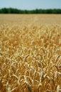 Free Field Of Ripe Wheat Stock Photography - 1529142