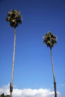 Free Palm Trees Royalty Free Stock Photo - 1520155