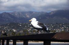 Free Seagull Stock Photo - 1520190