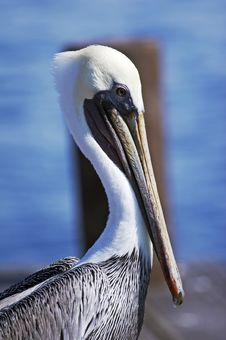 Free Pelican Stock Images - 1520214