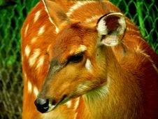 Free Deer Close Up Royalty Free Stock Photography - 1520877