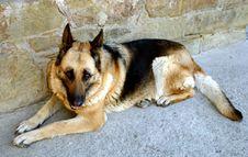 Free Wolf-dog Stock Photos - 1521233