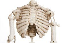 Free Isolated Skeleton Royalty Free Stock Photo - 1523445