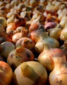 Free Onion Royalty Free Stock Photos - 1524928