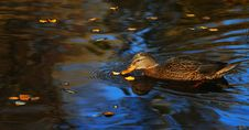 Free Wild Swiming Duck Royalty Free Stock Photo - 1524935