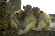 Free Monkey-11 Stock Image - 1525311