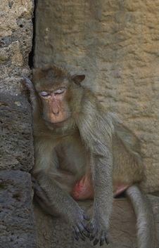 Free Monkey-15 Stock Photos - 1525413