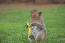 Free Monkey-20A Royalty Free Stock Photos - 1525498
