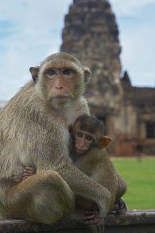 Free Monkey-26 Royalty Free Stock Images - 1525539