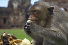Free Monkey-28 Royalty Free Stock Photography - 1525587