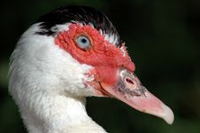 Free Muscovy Duck Stock Images - 1525834