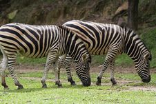Free Zebra Stock Photography - 1525962