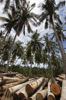 Free Coconut Tree Royalty Free Stock Photography - 1525977