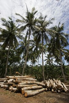 Free Coconut Tree Stock Photo - 1525980