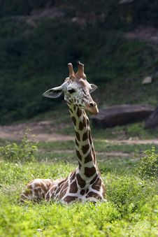 Free Giraffe Royalty Free Stock Images - 1525999