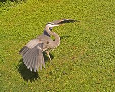Free Great Blue Heron Demonstration Royalty Free Stock Photos - 1526058