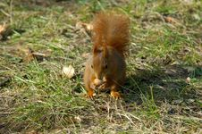 Free Red Squirrel Stock Image - 1528201