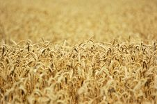 Field Of Ripe Wheat Royalty Free Stock Photography