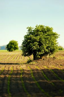 Lone Tree In A Field Royalty Free Stock Image