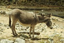 Free Donkey Stock Photo - 1529250