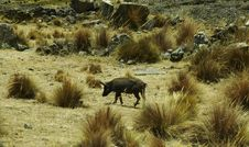 Free Peruvian Pig Stock Photography - 1529272