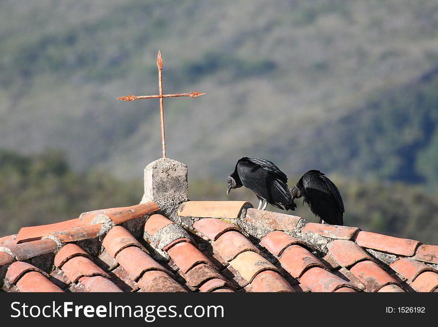 Black vultures in Andes