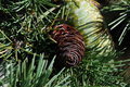Free Pine Cone Royalty Free Stock Photo - 15201705