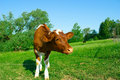 Free The Calf On Tether. Stock Images - 15206914