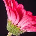 Free Pink Gerbera Royalty Free Stock Image - 15207066