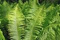 Free Green Fern Royalty Free Stock Image - 15209296