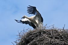 Free Young Stork Royalty Free Stock Photo - 15200925