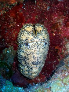 Free A Slipper Lobster Stock Images - 15200984