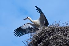 Free Young Stork Royalty Free Stock Photo - 15201095
