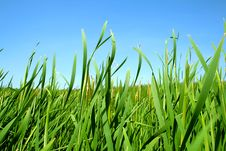 Free Grass Royalty Free Stock Photography - 15201227