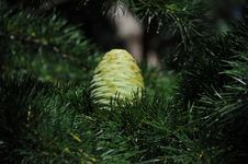 Free Green Pine Cone Royalty Free Stock Photography - 15201667