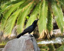 Free Blackbird Stock Photography - 15203222
