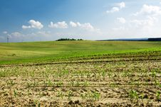 Free Corn Growing In The Field Stock Images - 15204134