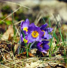Free Blue Pasqueflower In Spring Royalty Free Stock Image - 15204466