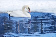 Free One Swan Swimming Royalty Free Stock Photography - 15204557